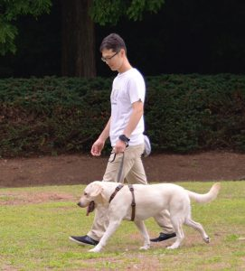 ハーネスを装着して散歩するラブラドール