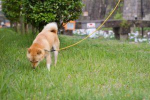 散策する柴犬